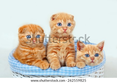 Three cute red kittens in a basket - stock photo