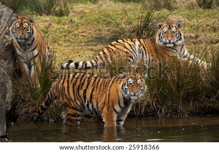 three cute Siberian tiger cubs looking at something in the water (Panthera tigris altaica) - stock photo