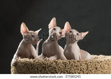 Three cute sphinx kittens on the cat house - stock photo