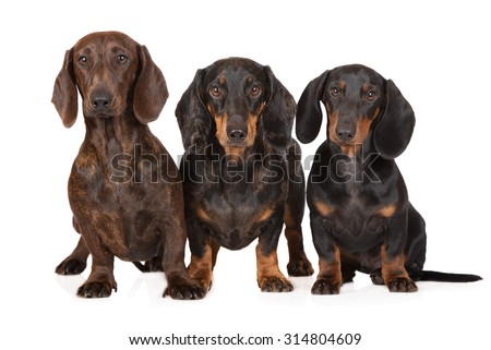 three dachshund dogs together on white - stock photo