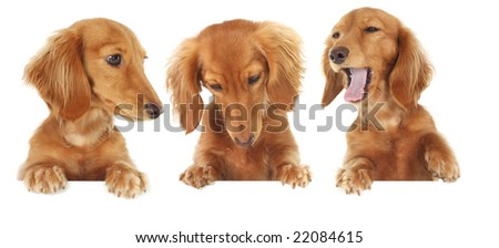 Three Dachshund puppies isolated, add your own text.