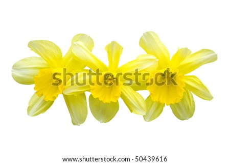 three daffodil isolated on white - stock photo
