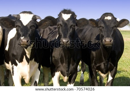 THree dairy cows curiously looking into the camera - stock photo