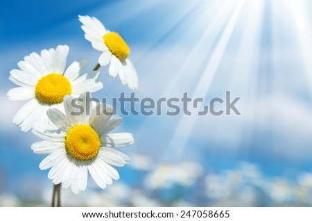 Three daisies on a background of the sky - stock photo