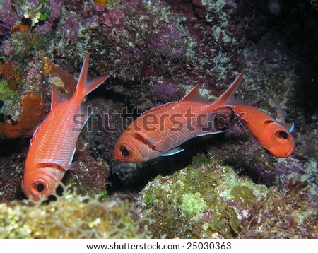 Three dancing orange fish underwater. - stock photo