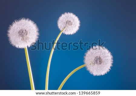three dandelion blowballs on blue background - stock photo