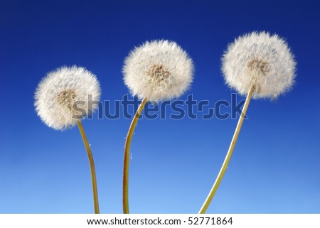 Three dandelion plants on blue background - stock photo