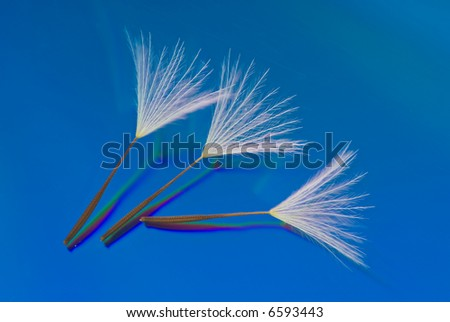Three Dandelion Seeds on a Reflective Blue Background - stock photo