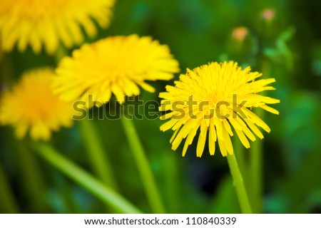 three dandelions on field of yellow dandelions a blindingly bright color on the background of emerald green spring grass clear Sunny day - stock photo