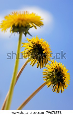 Three dandelions yellow flowers close-up isolated on blue sky - stock photo
