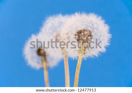 Three dandilions against blue background - stock photo