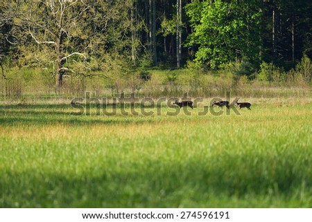 Three deer crossing an open meadow in Cades Cove, Smokey Mountain N.P. Tennessee. - stock photo