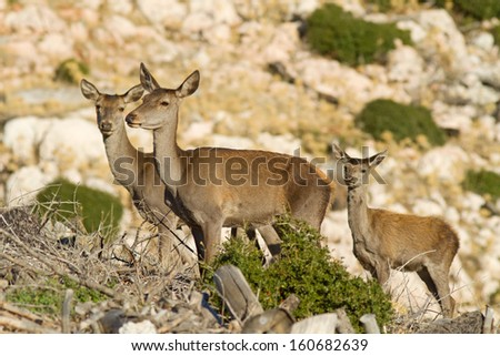 Three deers (Cervus elaphus) on Parnitha mountain, close to Athens, Greece