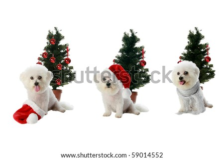 three diffrent poses of Fifi the Bichon Frise isolated on white with a christmas or winter holiday theme - stock photo