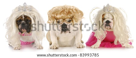 three divas - english bulldogs with sour expressions wearing female clothing on white background - stock photo