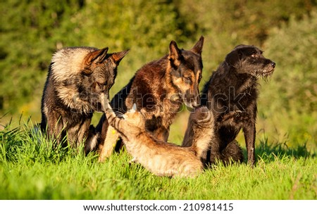 Three dogs and one aggressive cat - stock photo