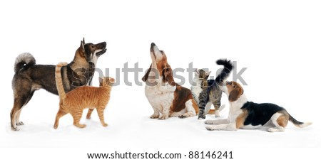 Three dogs and two cats together looking up on isolated white background