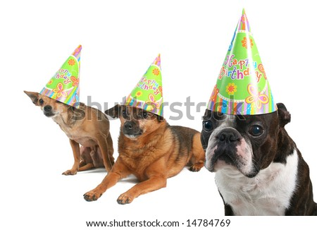 three dogs celebrating a birthday with hats on - stock photo