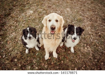 Three dogs, golden retriever and border collie, sitting on the grass - stock photo
