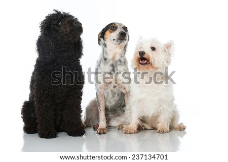Three dogs isolated on white - stock photo
