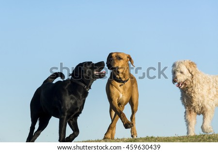 Three dogs play together on the meadow