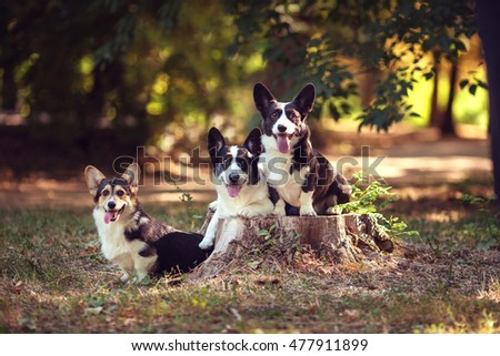 Three dogs with long body and short legs of welsh corgi  breed with black and white coat outdoors on summer sunny day