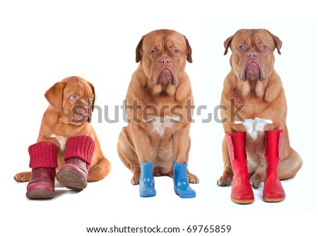 Three Dogue De Bordeaux puppies wearing shoes, boots, wellington boots - stock photo