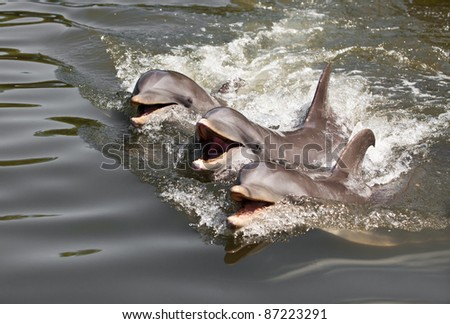 Three dolphins float in water ... - stock photo