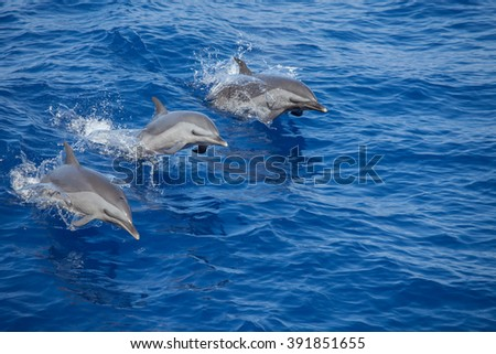 Three dolphins leaping out of the water at the same time - stock photo