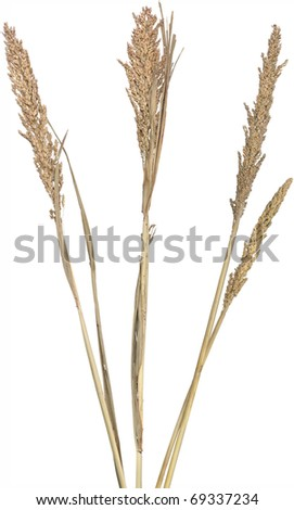 Three dried ornamental reed grasses. Very high-res. Clean edges, no shadows. - stock photo