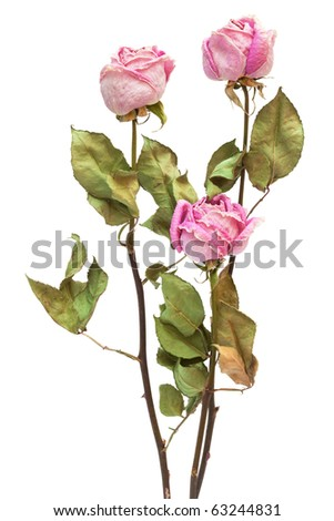 three dry roses on a white background - stock photo