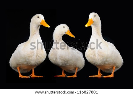three duck on a black background - stock photo