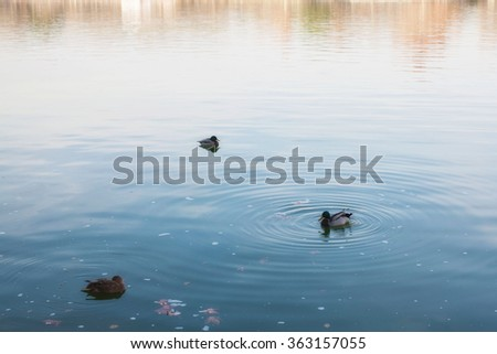 three ducks in a lake. With concentrical waves around