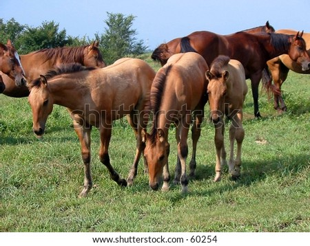 Three dun foals in a pasture - stock photo