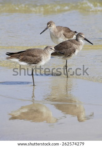 Three Durlin Waterfowl Standing in the Shallows of the Gulf of Mexico - stock photo