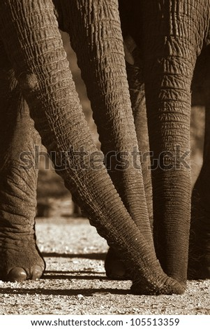 Three Elephant trunks smelling the same spot together. This unique image was catured at Addo elephant national park,eastern cape,south africa - stock photo