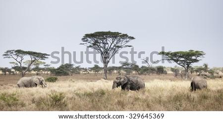 Three Elephants in Freedom in the Serengeti in Tanzania - stock photo