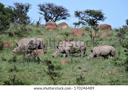Three endangered White Rhinos graze on a hill in a game reserve. - stock photo
