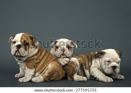 Three English Bulldog dogs over gray background   - stock photo