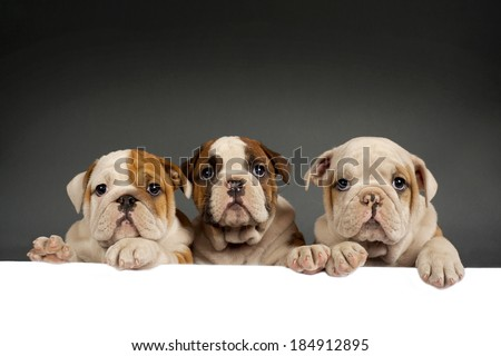 Three English bulldog puppies with paws on a message board