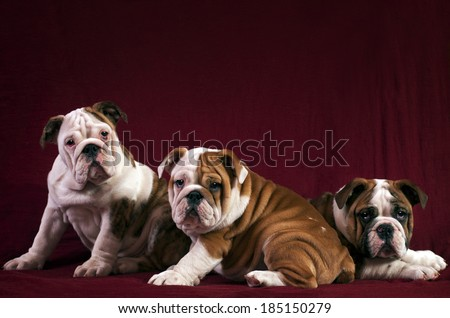 Three English Bulldogs, 3 months old over red background. - stock photo