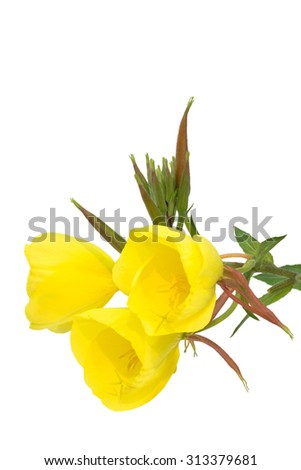 Three evening primrose blossoms isolated on white - stock photo
