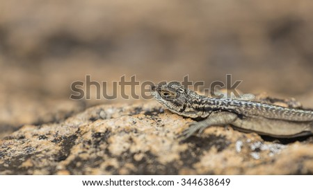 Three eyed plated lizard head portrait in Madagascar rock reserve