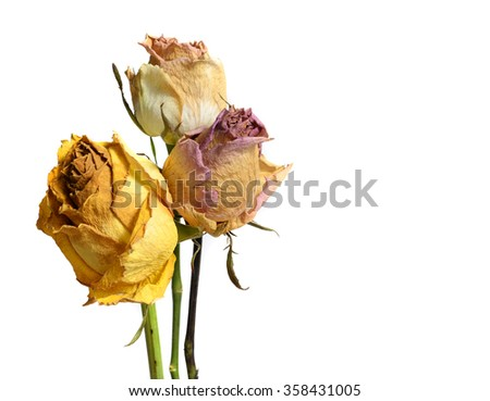 Three Faded Withered Roses Flower Isolated on White Background