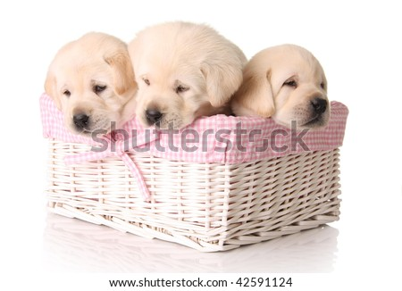 Three female labrador puppies, three weeks old. - stock photo