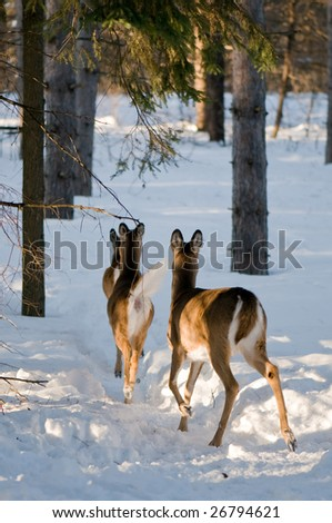 Three female whitetail deers running away from the camera. Image taken in winter in Ottawa, Canada. - stock photo