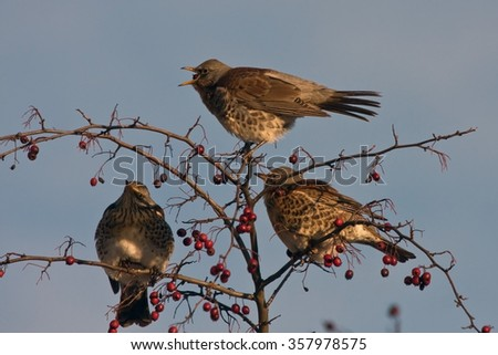 Three fieldfares eating on the tree (Turdus pilaris)