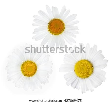 three fine chamomile flower blooms on white background - stock photo