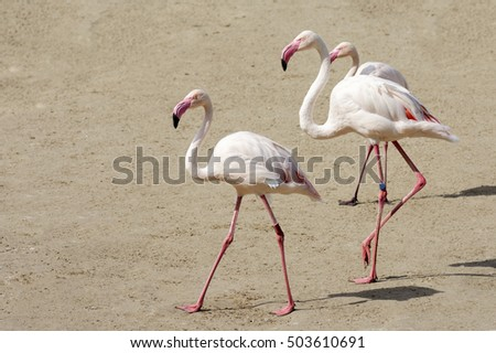 Three flamingo birds are walking on the sand.