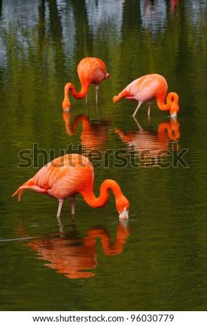 Three flamingo's feeding in a pool - stock photo